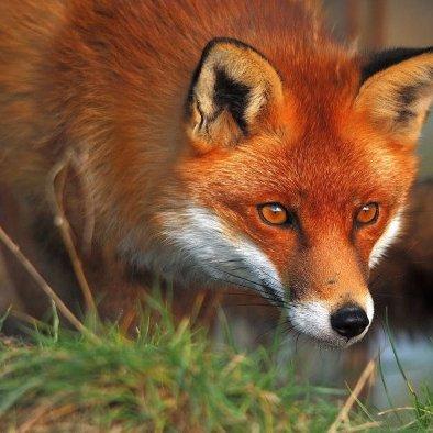 FoxHourlyFox
